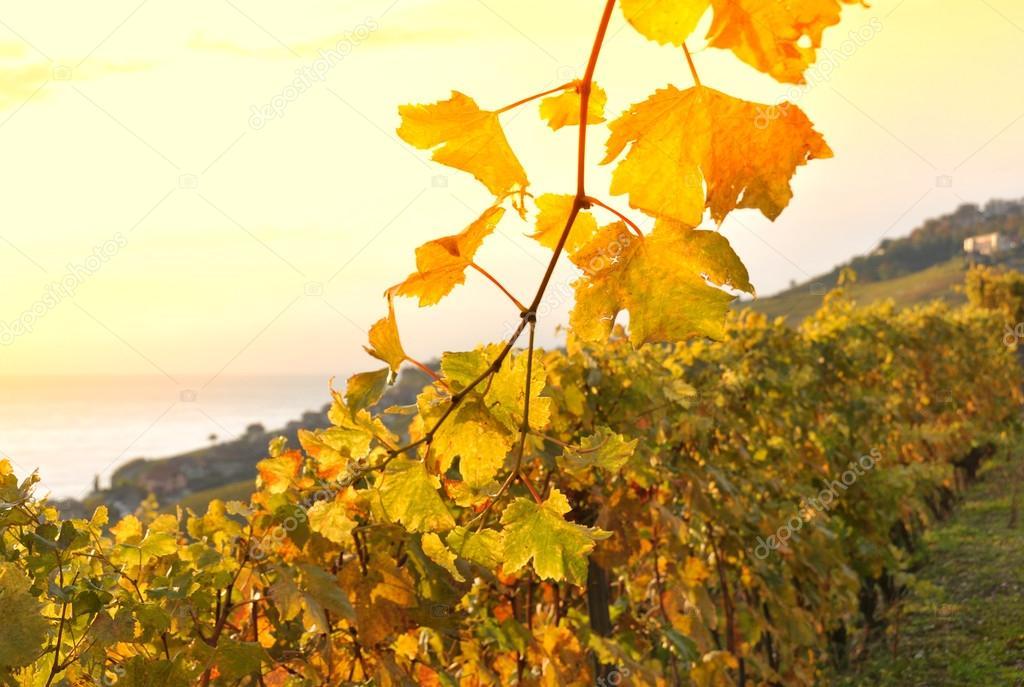 Terrace vineyards in Lavaux region, Switzerland