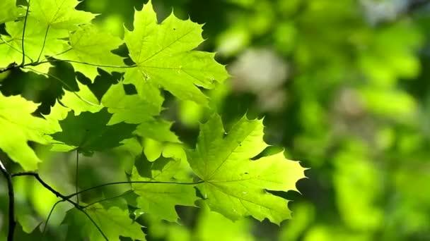 Javorové listy