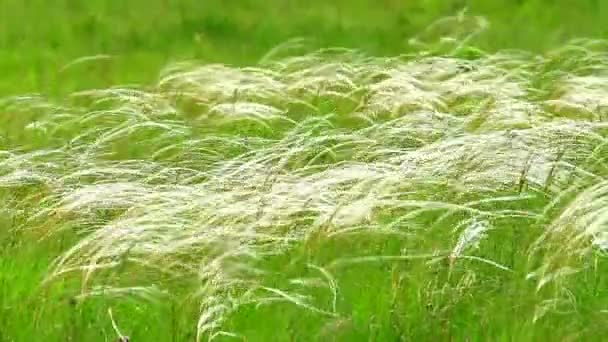 Beautiful stipa