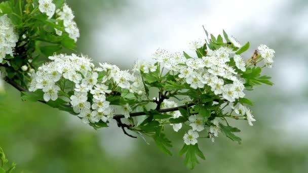 krásný hloh bush květiny