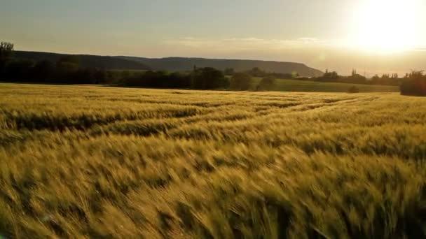 Szép gabona a mező a naplemente fény