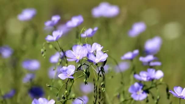 Kytice ve větru asijské lnu (Linum austriacum