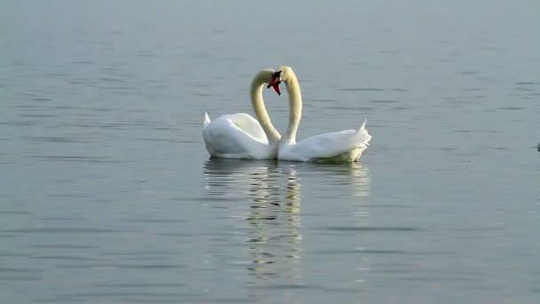 weiße Schwäne auf dem Wasser