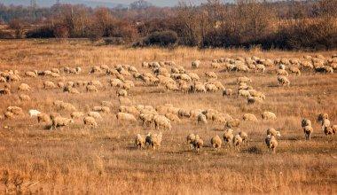 Sheeps grazing on autumn grass land stock vector