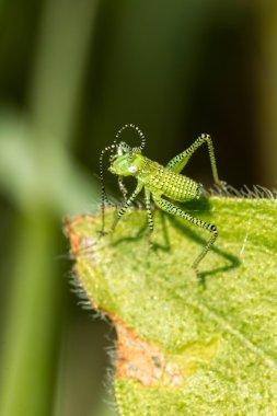 Green striped Grasshopper