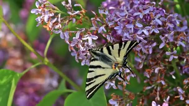 Beautiful swallowtail (Papilio machaon ) butterfly