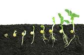 germinare i semi di pisello