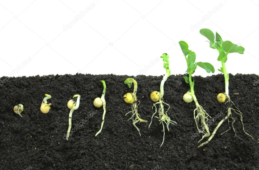 Germinating pea seeds