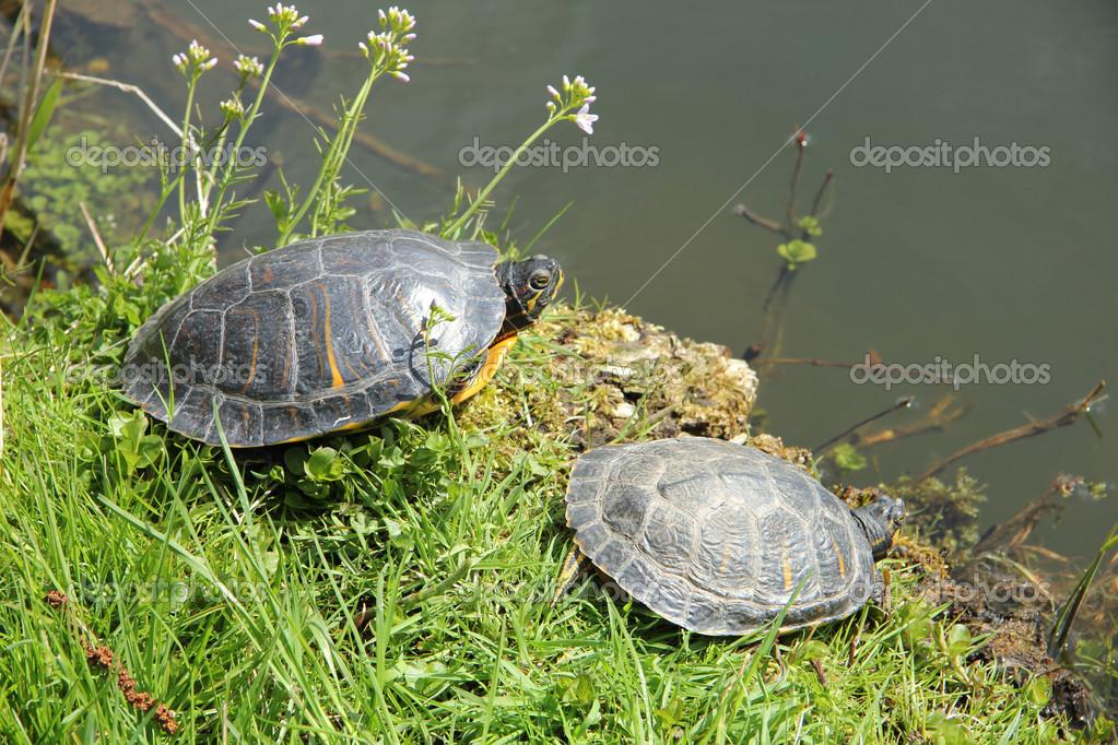 Two turtles near waterside