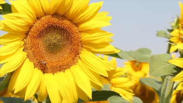 Bee a slunečnicová pole