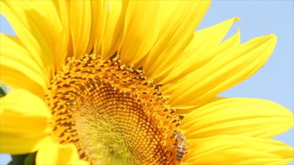včela na slunečnicový letní scéně