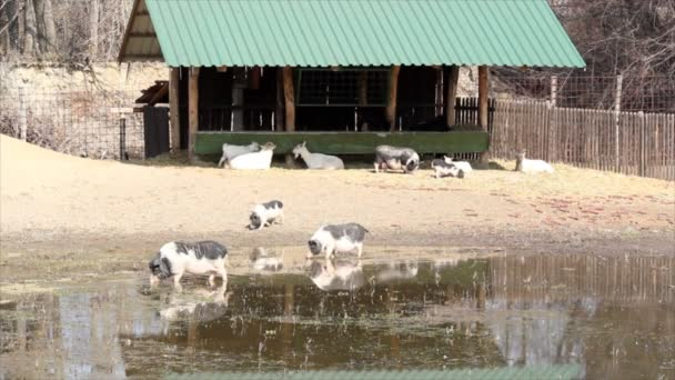 Farm with pigs and goats