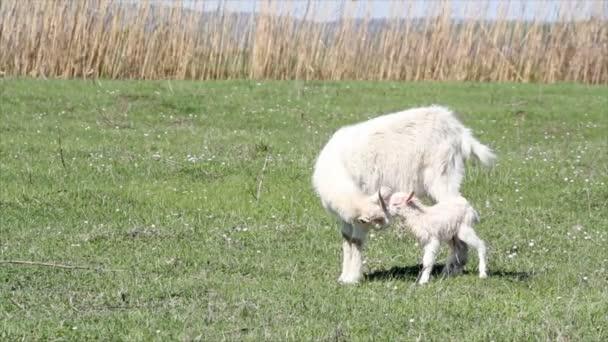 Kozel a koza právě zrozená