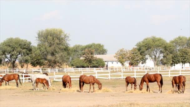 stádo koní jíst seno