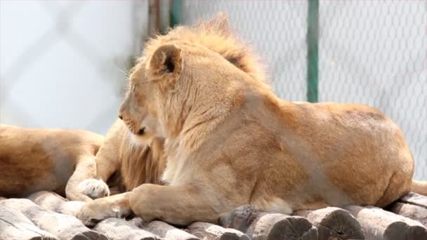 Lion licking lioness
