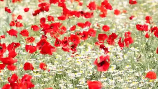 louka s květy máku a Heřmánek