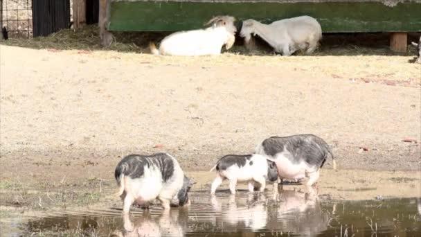 Pigs farm scene
