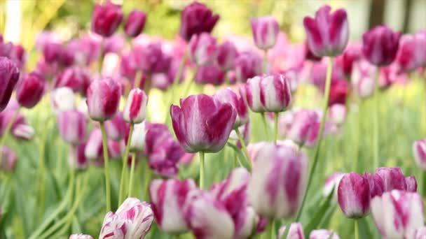 rózsaszín tulipán virág