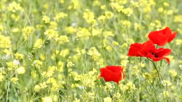 mák virág