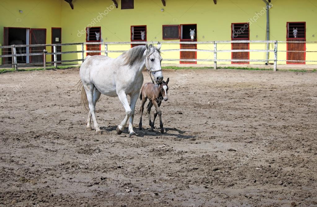 Ranch con cavalli lipizzani foto stock goceristeski for Piani di ranch tentacolare