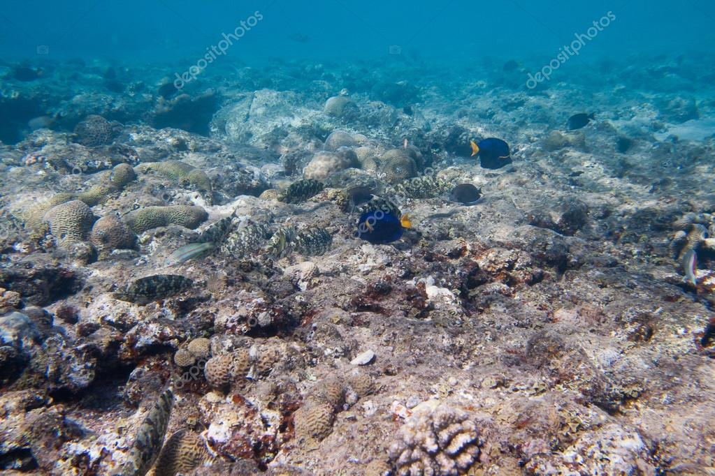 Siganidae and Yellowtail tang are on the seabed