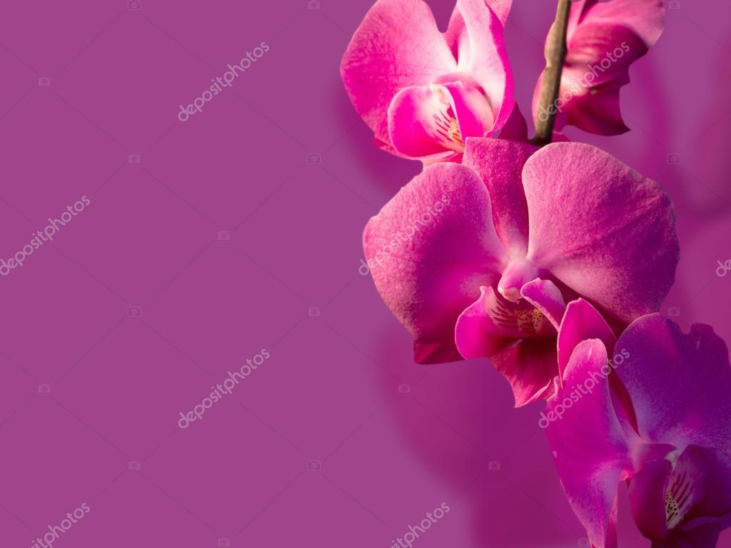 Flores Lilas Con Rosas Sobre Fondo: Rama Con Orquídeas Flores Rosas Sobre Un Fondo Color Lila