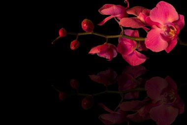 single orchids on a black background