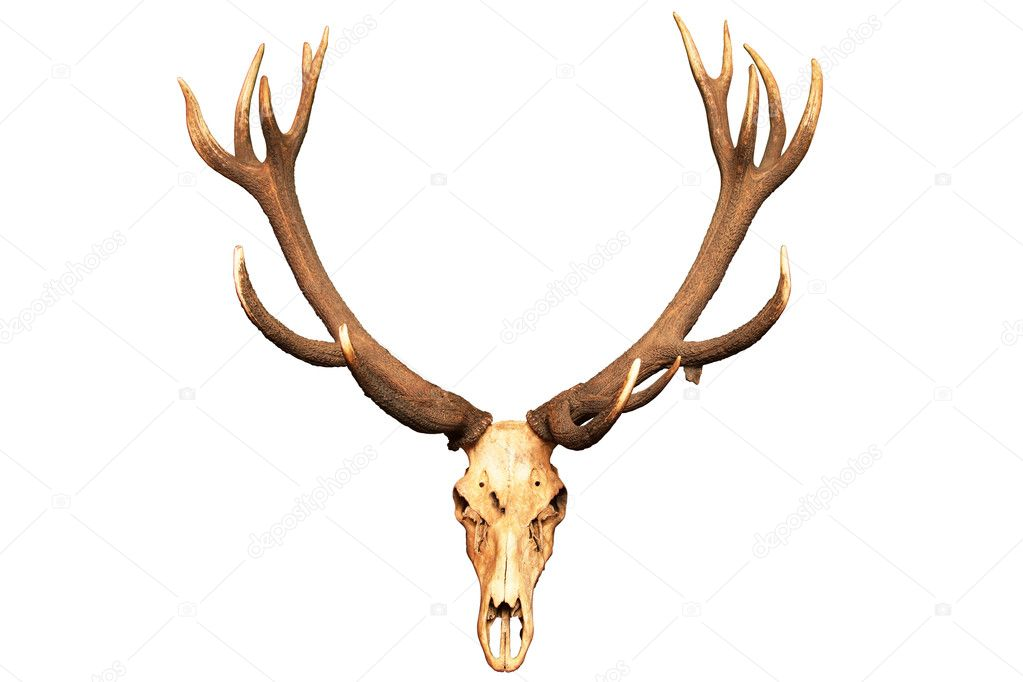 Antlers and skull isolated on white background