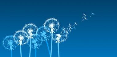 White dandelions in the wind
