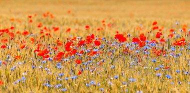 Wheat field with poppy field