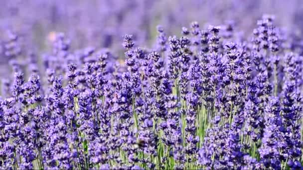 Bees on lavender in summer time