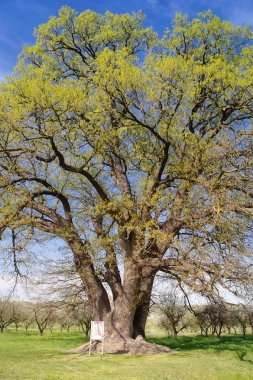 Eight-hundred year old oak