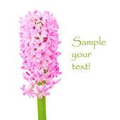 Růžové Hyacint izolovaných na bílém pozadí