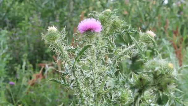 květy bodláku