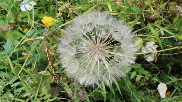 Dandelion flower with seeds