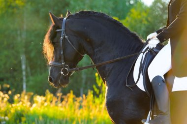 Black Friesian horse in the sunset, horse riding