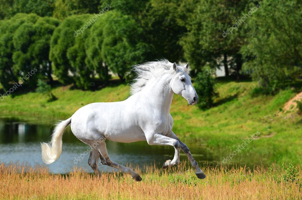 White Andalusian horse (Pura Raza Espanola) runs gallop in summe