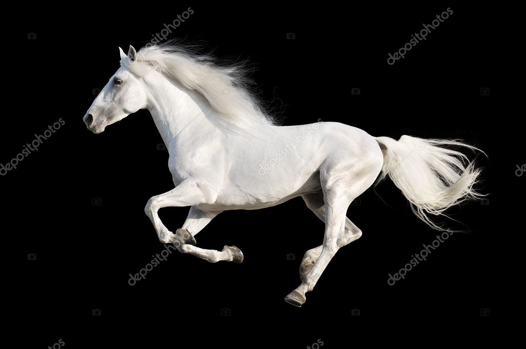 White Horse Runs Gallop Isolated On The Black Stock Photo C Vikarus 15553355