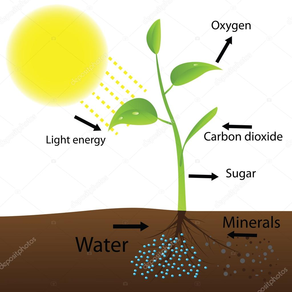 Scheme of photosynthesis