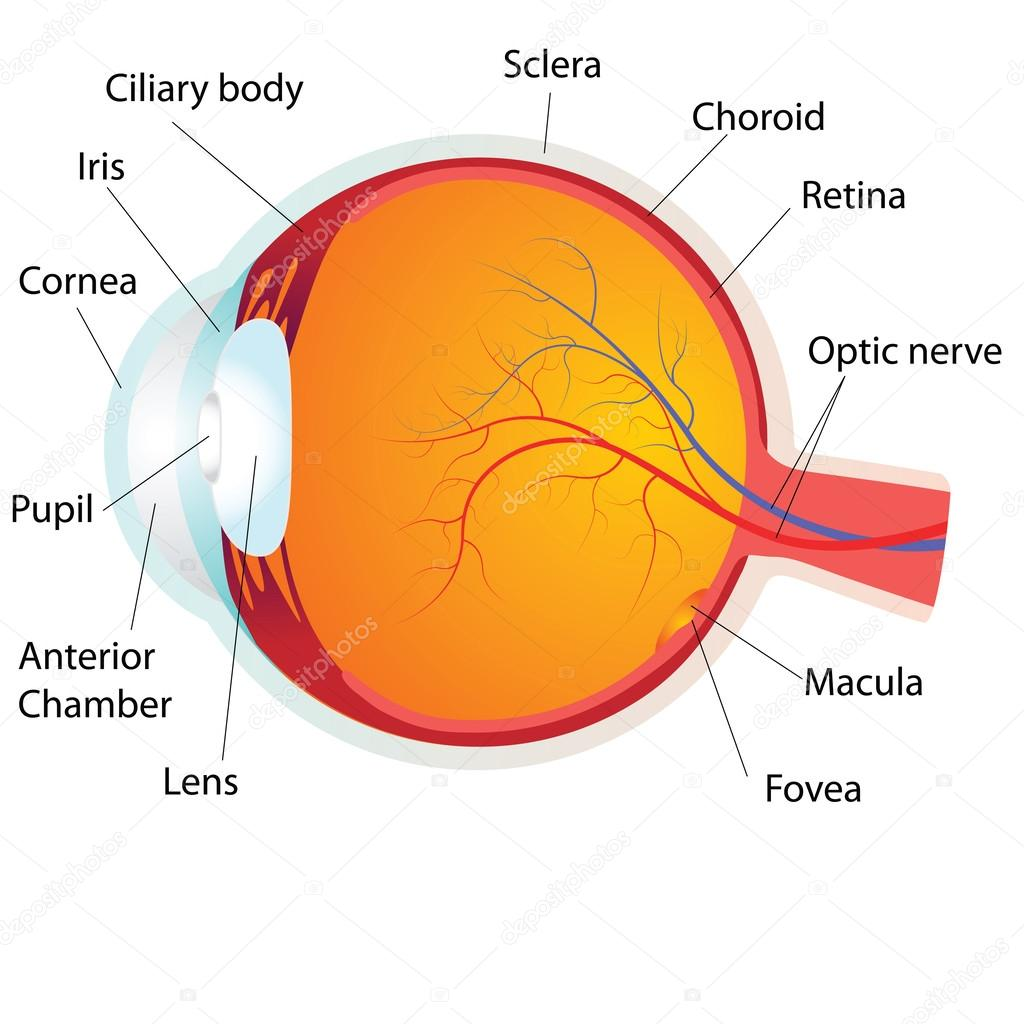 Human eye anatomy,vector