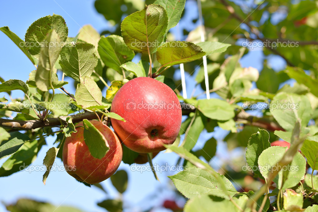Two red apples on apple tree branch — Stock Photo © galina ...