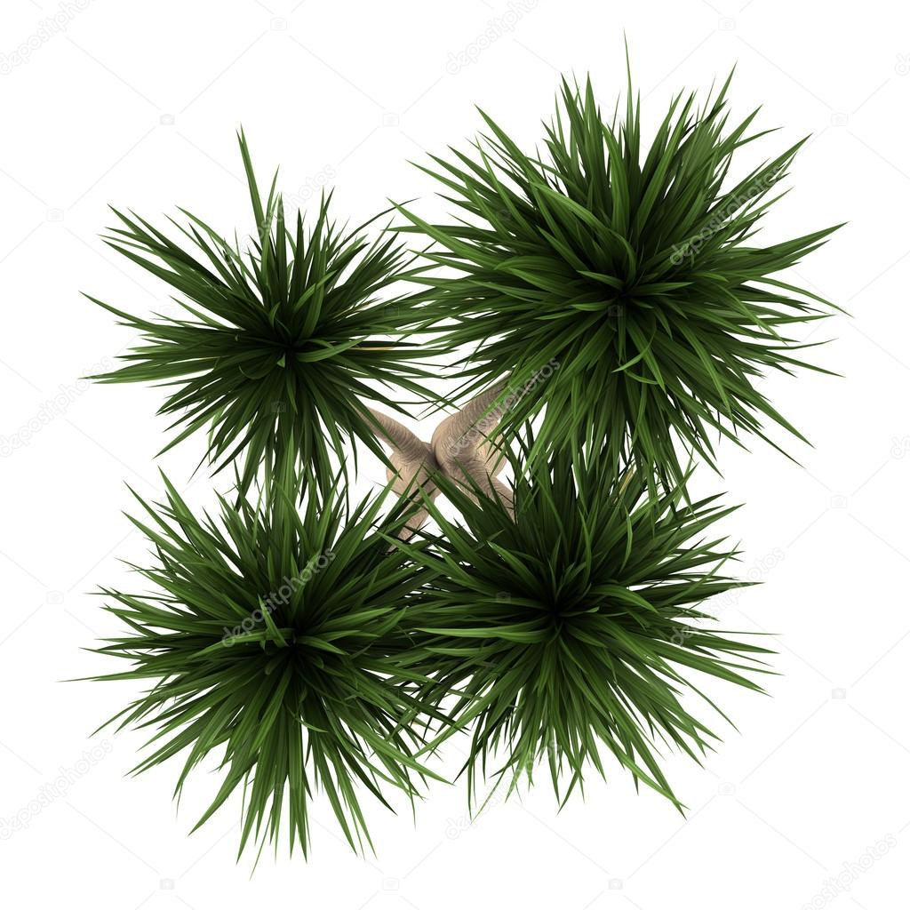 Top view of yucca palm tree isolated on white background — Stock ... for Palm Tree Top View Png  165jwn
