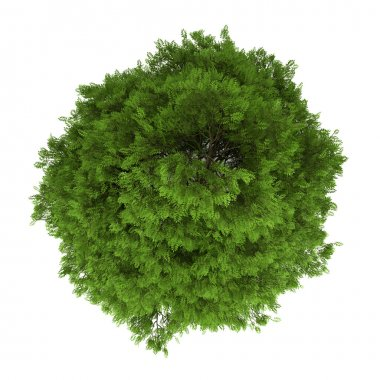 Top view of tree of heaven isolated on white background