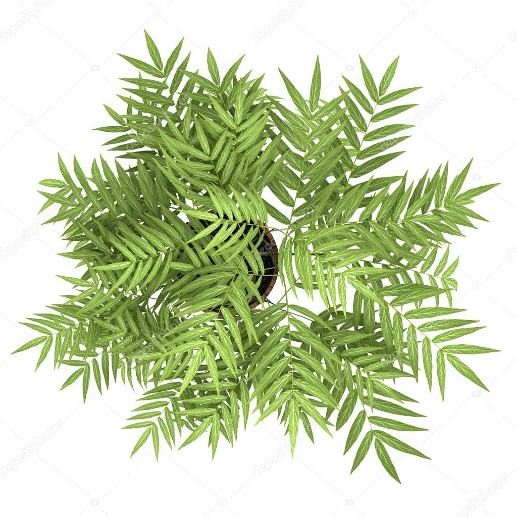 Top view of decorative tree in pot isolated on white for Best small decorative trees