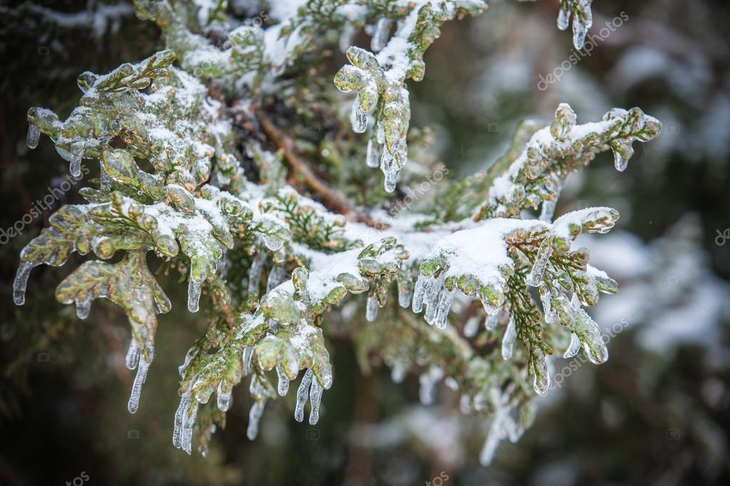 Pine branches covered with ice