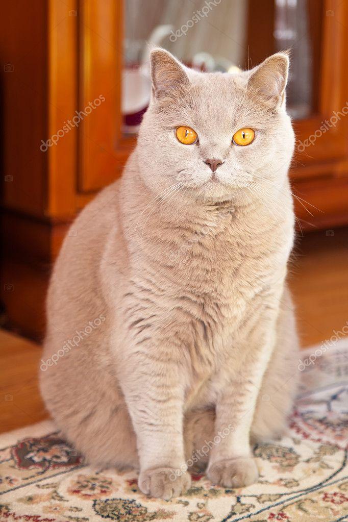 Kot Brytyjski Liliowy Zdjęcie Stockowe Anitabonita 24871763