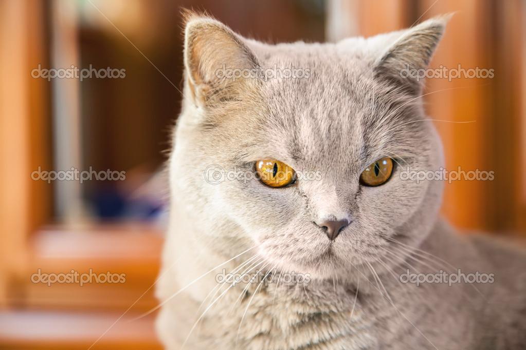 Kot Brytyjski Liliowy Zdjęcie Stockowe Anitabonita 49640293