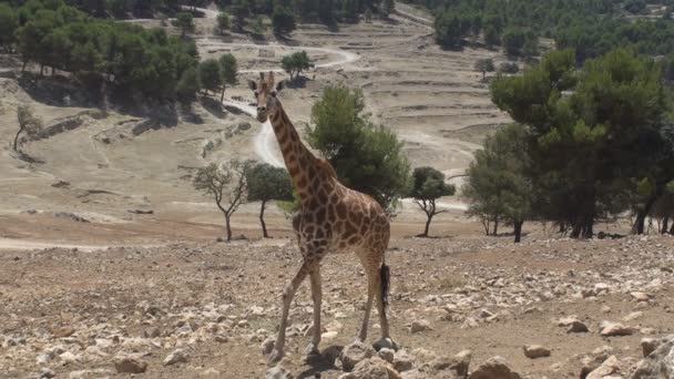 chodící žirafa