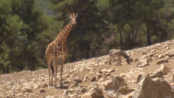 žirafa a osel