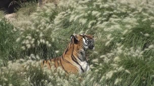 Tygr siesta